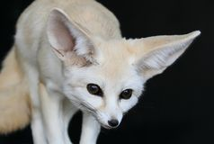 Fennic Desert Fox with Large Ears Royalty Free Stock Photo