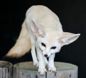 Fennic与大耳朵的沙漠Fox 免版税库存图片