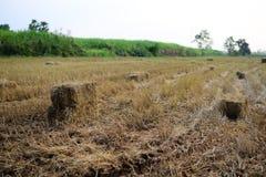 Feno da palha do arroz na exploração agrícola do campo com céu da manhã fotografia de stock