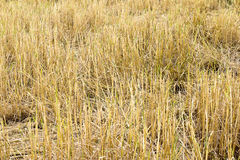 Feno do arroz após colhido Fotografia de Stock