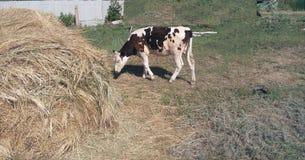 Feno, estação, verão, vitela, pasto, exploração agrícola, leite, só, manchado, vaca, eco-amigável, gado fotos de stock