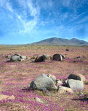 Fenomeen van Bloeiende woestijn in Chileense Atacama stock afbeeldingen