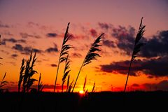 Fens reed sunset Royalty Free Stock Photo