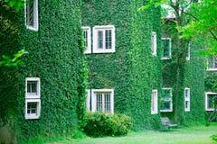 Fenster auf der Efeuwand Lizenzfreies Stockbild