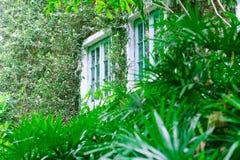 Fenster auf der Efeuwand Stockbilder