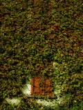 Fenster bedeckt im grünen Efeu Stockfotografie