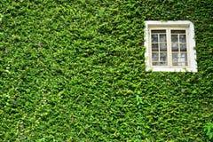 Fenster bedeckt mit grünem Efeu Stockbilder