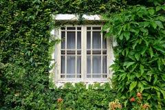 Fenster bedeckt mit grünem Efeu Stockbild