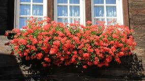 Fenster dekorativ mit Pelargonien-Blumen stockbild