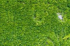 Fenster an der grünen Efeuwand. Stockfotografie