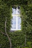 Fenster eins und Wand abgedeckt in den Efeublättern stockfoto