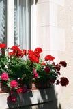 Fenster-Pelargonien Lizenzfreies Stockfoto