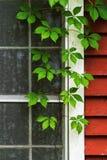 Fenster und Efeu Lizenzfreie Stockbilder
