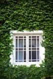 Fenster und grüner Efeu Lizenzfreie Stockfotografie