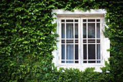 Fenster und grüner Efeu Stockfoto