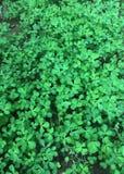Fenugreen liście r organicznie zdjęcia stock