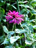 Fenway zwycięstwa ogródu kwiat zdjęcie stock