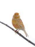Feo canary Stock Photo