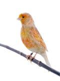 Feo canary, studio shot Royalty Free Stock Image