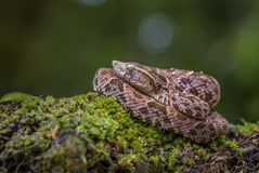 Fer-de-lance - Bothrops atrox. Dangerous venomous pit viper from Central America forests, Costa Rica Stock Photo