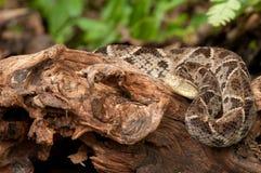 Fer-de-Lance - Costa Rica Venomous Snake Royalty Free Stock Images