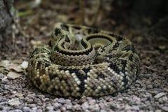 Fer de lance. Venemous Bothrops snake in Costa Rica Stock Photo
