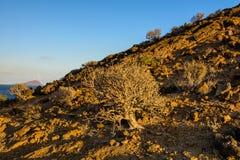 Fera de baume d'euphorbe La végétation de Ténérife images stock