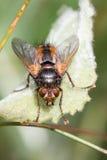 Fera Parasitoid de Tachina da mosca Fotos de Stock Royalty Free