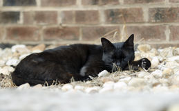 Feral black cat. Sleeping outdoor feral stray black cat, mouser, barn cat, wild cat. City cat stray. Walton County, Monroe, Georgia, USA Stock Photo