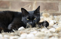 Feral black cat with yellow eyes. Sleeping outdoor feral stray black cat, mouser, barn cat, wild cat. City cat stray. Walton County, Monroe, Georgia, USA Royalty Free Stock Image