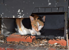 Feral Calico Cat in a Box for Shelter Royalty Free Stock Photo
