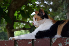 Feral calico cat laying staring off to the left Royalty Free Stock Image