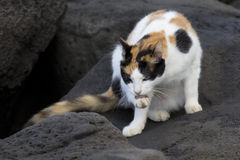 Feral Calico Cat. A natural feral calico cat licking its right rear paw with detail of tongue and retracted claw.   This cat lives among the rocks of Point Panic Royalty Free Stock Photo