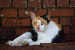Feral calico laying down staring at me Royalty Free Stock Images