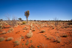 Feral Camels en el desierto Australia del interior imágenes de archivo libres de regalías