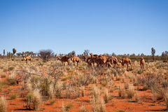Feral Camels in Outback Desert Australia. Feral camels in the outback desert of central Australia Royalty Free Stock Image