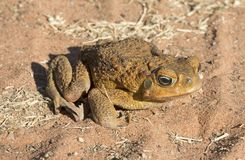 Free Feral Cane Toad In Outback Queensland Stock Photography - 125055972