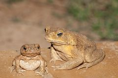 Feral cane toad in outback Queensland royalty free stock image