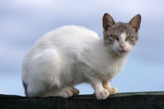 Feral Cat. A feral cat on the island of Kefalonia, Greece royalty free stock photos