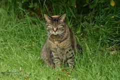 A Feral Cat With Attitude Sits In The Grass Whilst on The Hunt. He looks like he would eat anyone or anything given the chance. Definitely keeping out of reach royalty free stock images