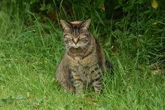 Feral Cat With Attitude Sits In la hierba mientras que en la caza imágenes de archivo libres de regalías