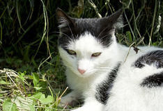 Feral cat. Feral black and white cat Royalty Free Stock Photography