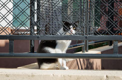 Feral cat with black and white fur behind a fence Stock Images