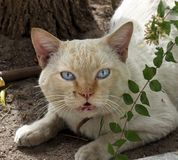 Feral Cat With Blue Eyes. Feral cat with bright blue eyes resting under a tree in Loule Portugal royalty free stock photo