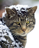 Feral cat covered in snow. Feral cat with amazing eyes and covered in snow turns to look at camera Royalty Free Stock Images