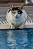 Feral cat drinking. From a hotel swimming pool Royalty Free Stock Image