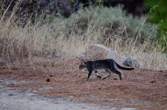 Feral cat. Felis silvestris catus. Young. Integral Natural Reserve of Inagua. Gran Canaria. Canary Islands. Spain Royalty Free Stock Photography