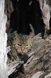 Feral cat. Hiding in a old log watching birds Royalty Free Stock Photo