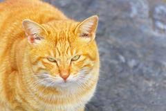 Feral cat. High angle view of feral cat looking at camera Royalty Free Stock Image