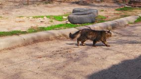 Feral Cat kruist straat Tomcat die onderaan de straat lopen stock footage
